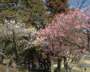 あけぼの公園梅林