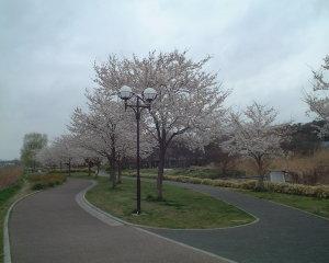 大堀川の桜