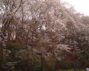 柏公園の桜