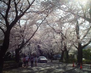 麗澤大学の桜並木