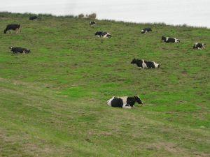 利根川野良牛