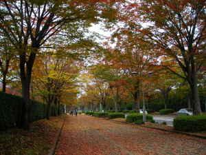 柏の葉公園街路樹の紅葉
