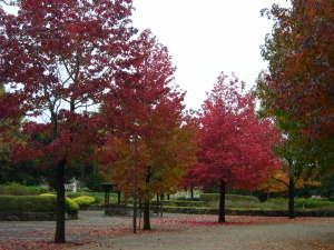 公園の赤い楓