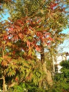 手賀沼のハゼの木