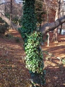 ツタで覆われたキリスト似の木
