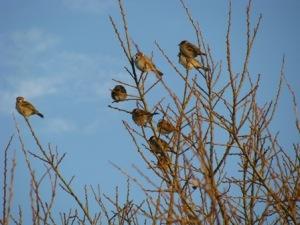 雀のなる木(手賀沼)