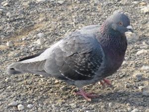 目つきの悪い鳩