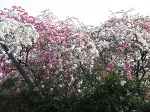 紅白の八重桜のような花(酒井根)