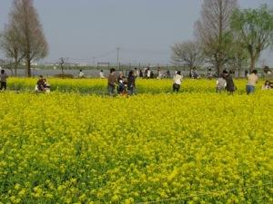 あけぼの山の菜の花畑