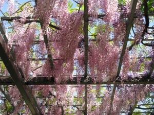 手賀沼のピンクの藤