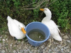 手賀沼の家鴨