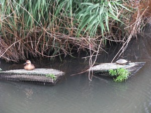 鴨と亀とのツーショット