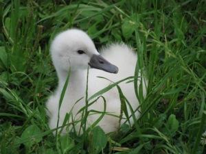 手賀沼の赤ちゃん白鳥