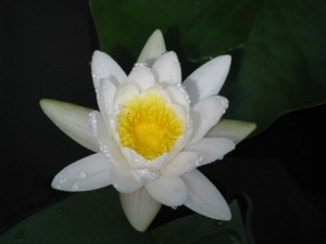 あけぼの山の白い睡蓮