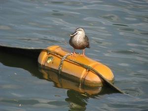 水元公園の鴨