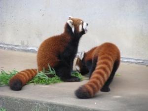 市川市動植物園のレッサーパンダ