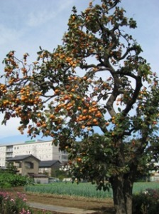 柿の木と新築の病院