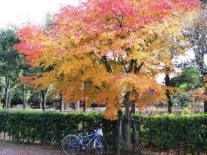 柏の葉公園の紅葉