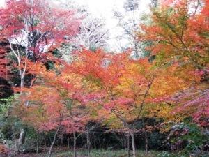 流通経大柏高の紅葉
