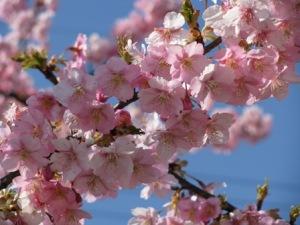 手賀沼の河津桜