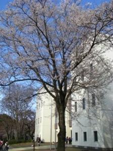麗澤大の薄墨桜