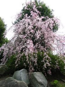 篠籠田の枝垂れ桜