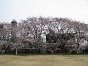 気象大の桜