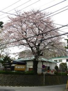 豊四季台団地の桜
