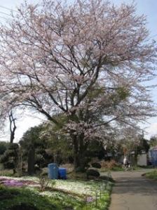 三叉路の桜