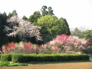 吉高の花桃