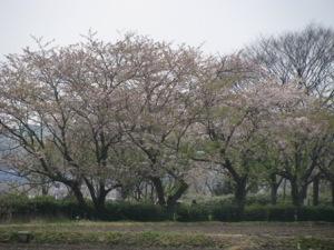 手賀沼の名残桜