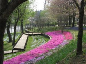 北柏ふるさと公園の芝桜