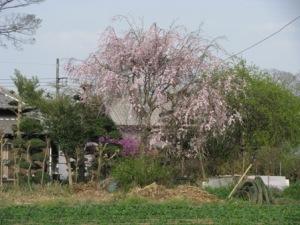 大青田の枝垂れ桜