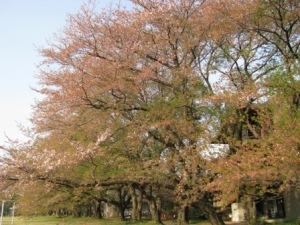 気象大の名残の桜