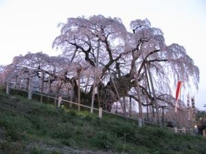 三春の滝桜(福島県)