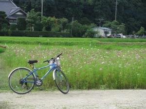 手賀沼のコスモス畑