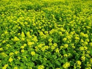 手賀沼菜の花
