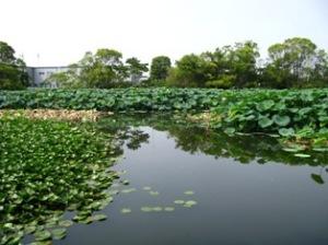 水元公園の蓮