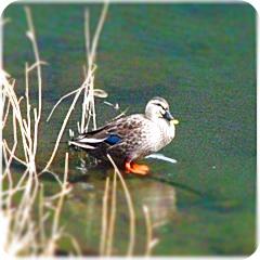 大堀川の鴨