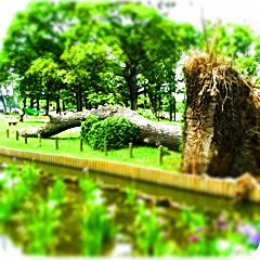 水元公園菖蒲園