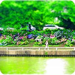 水元公園紫陽花
