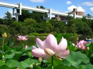 千葉公園の大賀ハス