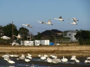 本埜の白鳥飛来地