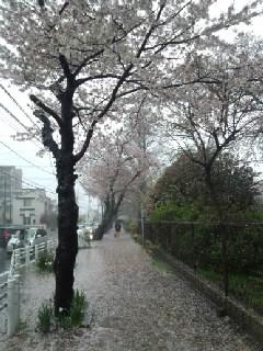 気象大雨桜