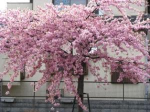 松戸河津桜