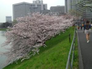 皇居お堀桜見物