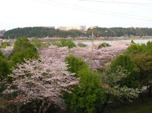 大堀川桜回廊