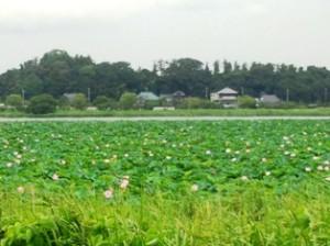 手賀沼の蓮