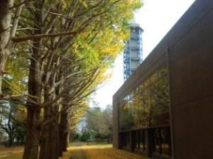 気象大学校の銀杏