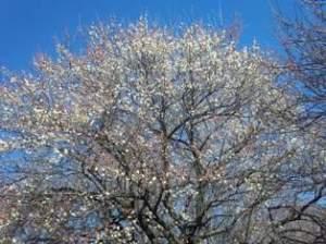 豊四季台団地の梅